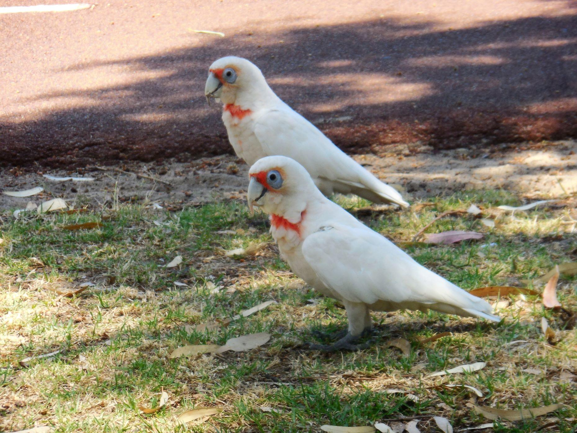 Click image for larger version.  Name:parrots.jpg Views:18 Size:430.3 KB ID:24741
