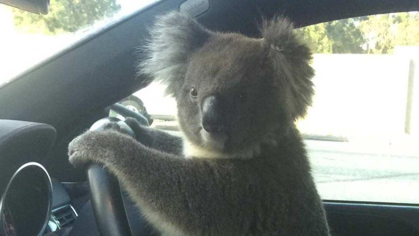 Click image for larger version.  Name:Koala.jpg Views:15 Size:46.4 KB ID:25870