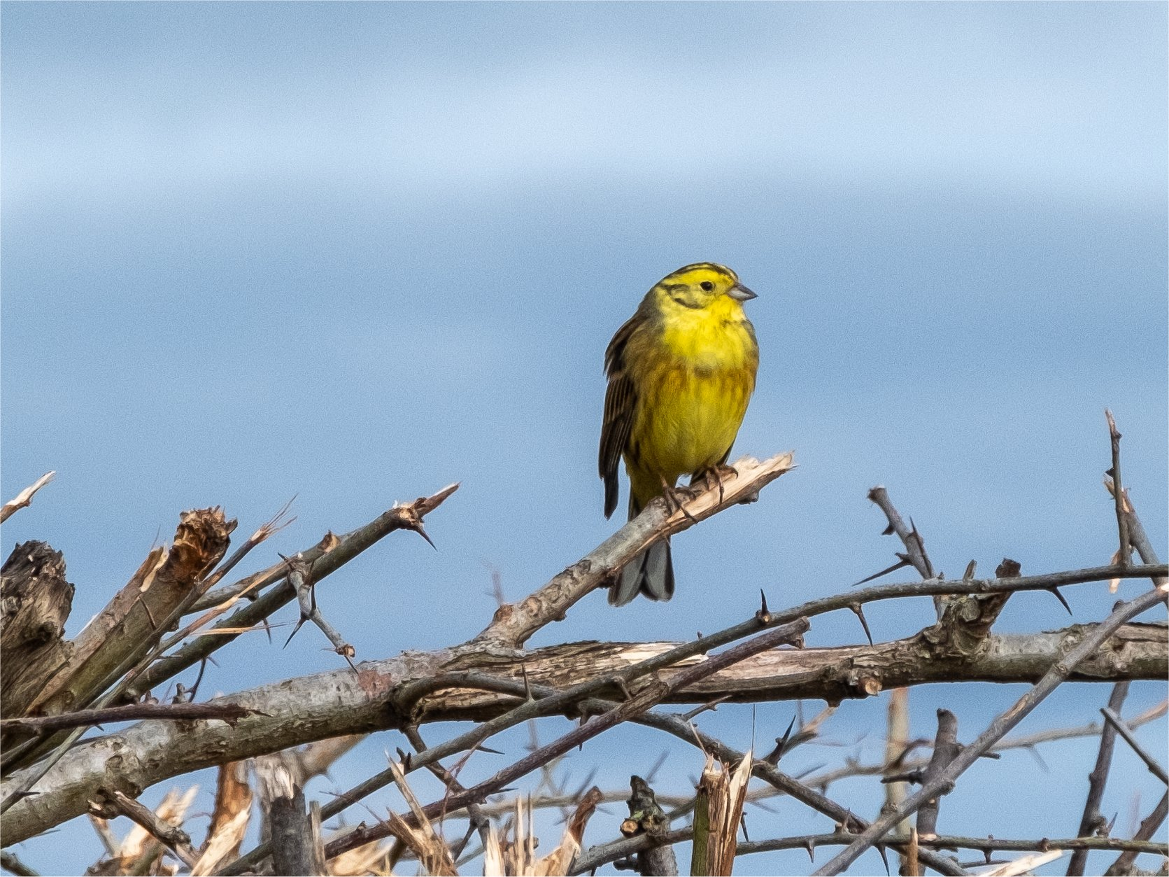 Click image for larger version.  Name:yellowhammer1.jpg Views:18 Size:450.3 KB ID:25951