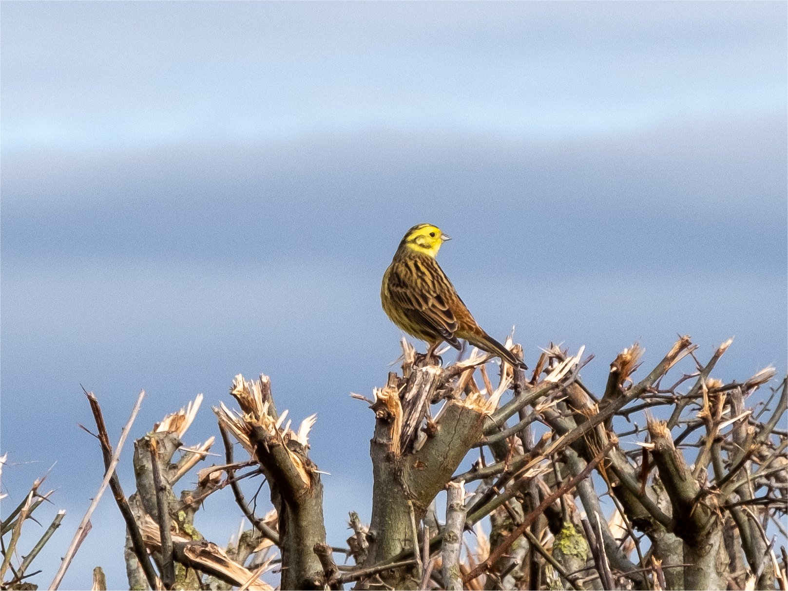 Click image for larger version.  Name:yellowhammer3.jpg Views:17 Size:434.4 KB ID:25952