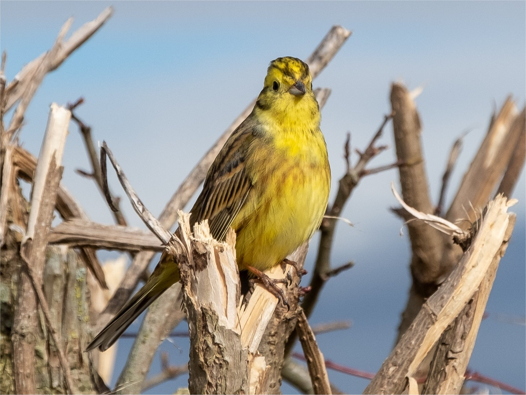 Click image for larger version.  Name:yellowhammer2.jpg Views:19 Size:394.1 KB ID:25953